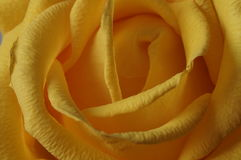 The yellow rose. Bouquet. Macro Royalty Free Stock Photos