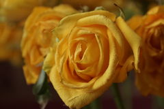 The yellow rose. Bouquet. Macro Royalty Free Stock Images