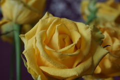 The yellow rose. Bouquet. Macro Stock Photography
