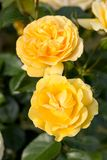 Yellow Rose on the Branch in the Garden.  stock photo