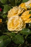 Yellow Rose on the Branch in the Garden after Rain.  stock images