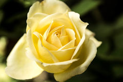 Yellow Rose. From Brazil with a very soft natural color Stock Image