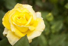 Yellow Rose. Bright yellow rose against a blurry green background Royalty Free Stock Photo