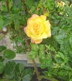 A single yellow and pink rose stock photography