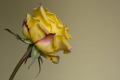 A yellow rose. On a brown background Stock Photo