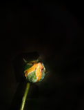 Yellow rose bud Royalty Free Stock Images
