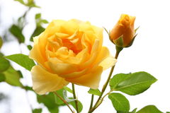 Yellow rose with a bud Royalty Free Stock Images