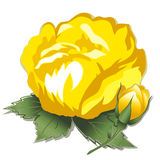 Yellow Rose and Bud. Heritage yellow rose and bud on white background Royalty Free Stock Photo