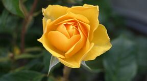 Yellow rose bud Stock Images
