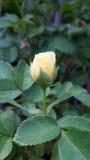 Yellow rose bud Stock Photo