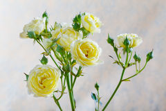Yellow rose bud on a beige Stock Photography