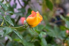 Yellow rose bud blooming in garden royalty free stock photo