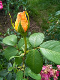 Yellow rose bud Royalty Free Stock Photography