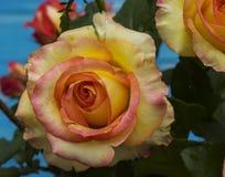 Yellow rose bud, macro Stock Photos