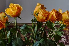 Yellow rose. Bud, petals, bouquet. A blossoming bud of a beautiful yellow rose on a blurred background. Russia, Moscow, holiday, gift, mood, nature, flower Royalty Free Stock Photo