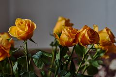 Yellow rose. Bud, petals, bouquet. A blossoming bud of a beautiful yellow rose on a blurred background. Russia, Moscow, holiday, gift, mood, nature, flower Stock Photos