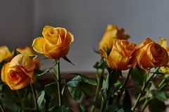 Yellow rose. Bud, petals, bouquet. A blossoming bud of a beautiful yellow rose on a blurred background. Russia, Moscow, holiday, gift, mood, nature, flower Stock Image