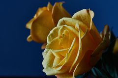 Yellow rose. Bud, petals, bouquet. A blossoming bud of a beautiful yellow rose on a blurred background. Russia, Moscow, holiday, gift, mood, nature, flower Royalty Free Stock Photography