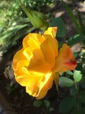 Morning yellow rose with bud in sunlight inspiring. Yellow rose bud and bloom in sunlit garden with greenery Stock Photos