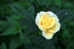 Yellow rose bud. Top view of a light yellow rose bud Stock Photo