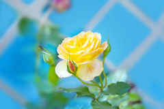 Yellow rose with a buds Stock Photography