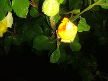 Yellow rose buds two royalty free stock photo