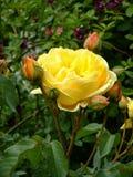 Yellow Rose Bush Royalty Free Stock Photography