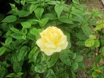 Single lemon yellow rose 1 stock photo