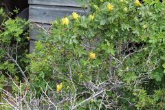 Yellow Rose bush barn backing stock photos