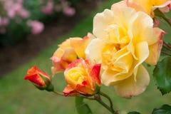 Yellow rose bush Royalty Free Stock Images