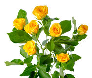 Yellow rose bush flowers isolated royalty free stock images