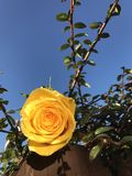 Yellow rose bush. Yellow rose on leafy green bush against blue skies royalty free stock images