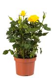 Yellow rose bush in pot isolated on white Stock Image