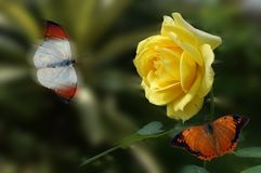 Yellow Rose butterfly. Yellow rose and colorful butterflies Royalty Free Stock Photos