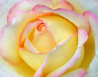 Yellow rose. Center of yellow rose with pink edges of the petals, cultivar Gloria Dei Stock Image