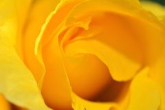 Yellow rose. Stock Photography