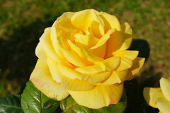 Yellow rose close up Stock Images