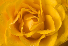 Yellow rose close-up with droplets Stock Photo