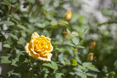 Yellow Rose Royalty Free Stock Image