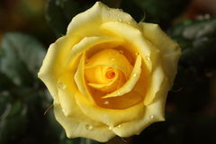 Yellow rose. Close-up of a yellow rose after the rain Royalty Free Stock Photo