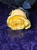 Yellow Rose. Close up of a well lit stock image