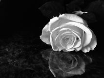 Yellow Rose in. Close up of a well lit flower in greyscale Royalty Free Stock Photo