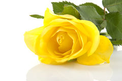 Yellow rose in closeup Stock Photos