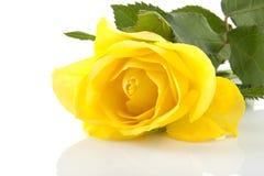 Yellow rose in closeup Stock Photos