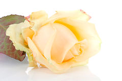 Yellow rose in closeup Royalty Free Stock Photo
