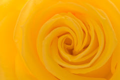 Yellow rose closeup. Yellow rose flower bud closeup Stock Images