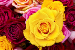 Yellow rose closeup Royalty Free Stock Images
