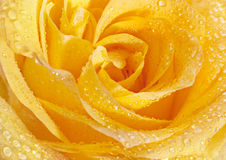 Yellow rose closeup head Royalty Free Stock Photography