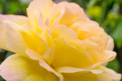 Yellow rose closeup. Photo texture, nature background. Stock Image