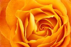 Yellow Rose. Closeup shot of rich yellow rose Stock Photography
